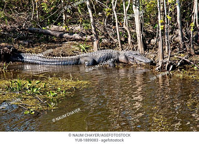Alligator still lying in pools, Jean Lafitte National Historical Park and Preserve, Louisiana, USA ,North America