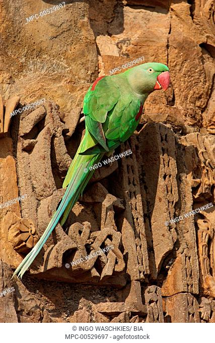 Alexandrine Parakeet (Psittacula eupatria) on walls of ruins, New Dehli, India