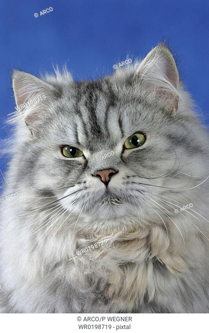 Persian, Cat, silver-tabby