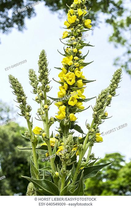 Large Flowered Mullein , Mullein, Verbascum densiflorum