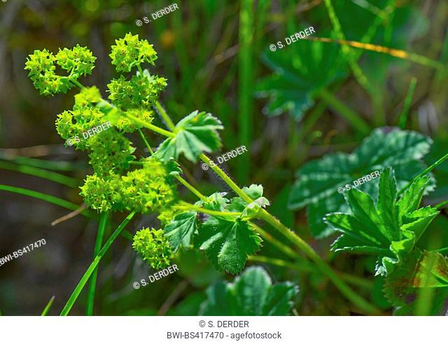 common lady's-mantle (Alchemilla vulgaris agg.), blooming, Austria, Tyrol, Tannheimer Berge