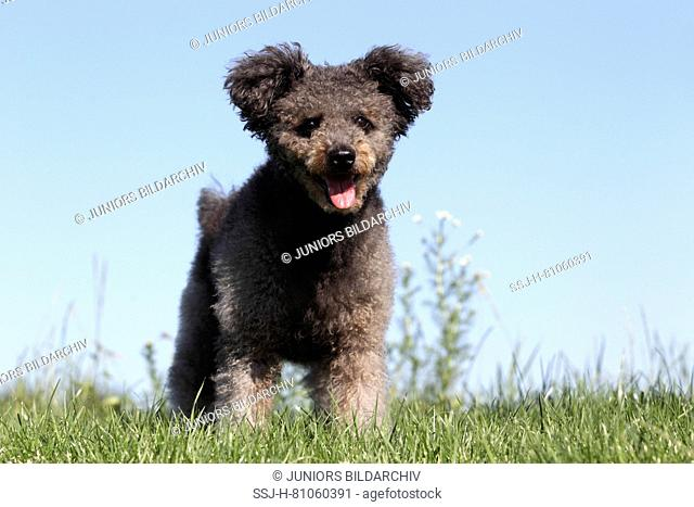 Pumi, Hungarian Herding Terrier. Gray bitch standing on a meadow. Germany