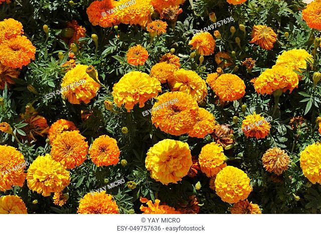 orange flowers of marigolds in dense greenery in summer