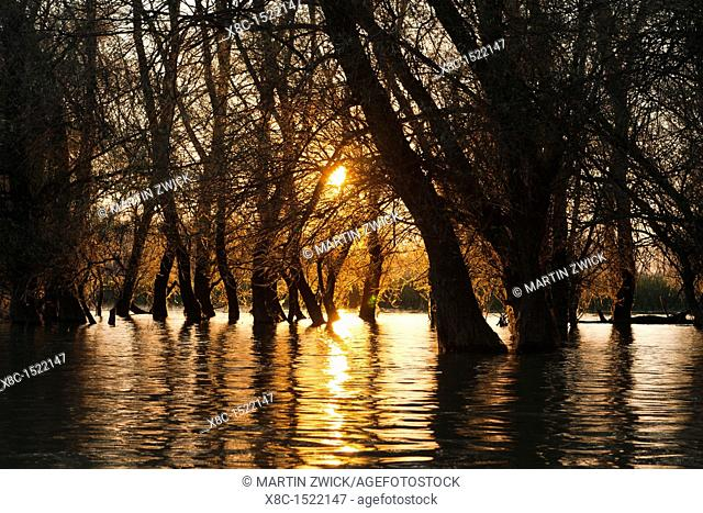 Channels during sunrise in the Danube Delta, romania  Big willows, alder and ash trees from a riparian forest along the channels  Only during September large...