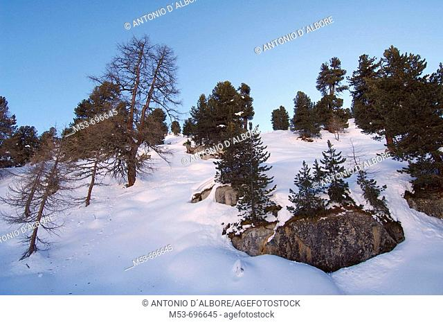 Forest with firs and pines. Riederalp, Swirzerland
