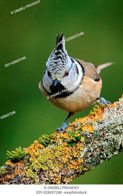 Songbird Crested Tit sitting on beautiful lichen branch