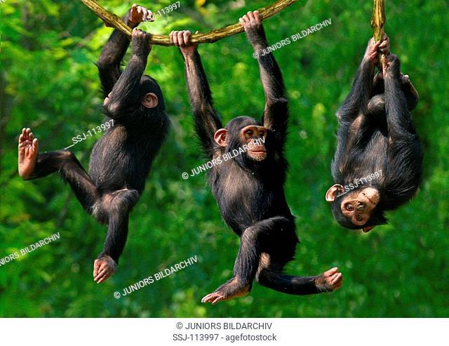 three young savanna chimpanzees - climbing / pan troglodytes
