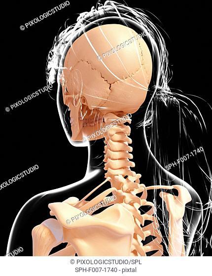 Female skeleton, computer artwork