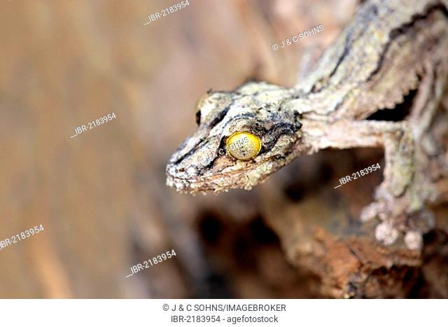 Mossy Leaf-tailed Gecko (Uroplatus sikorae), Madagascar, Africa