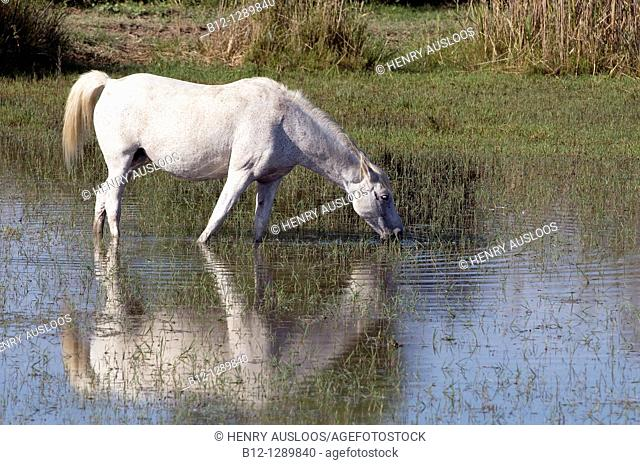 Wild Horse of Camargue, France