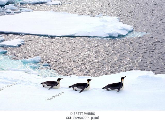 Emperor Penguins on iceberg, ice floe in the southern ocean, 180 miles north of East Antarctica, Antarctica
