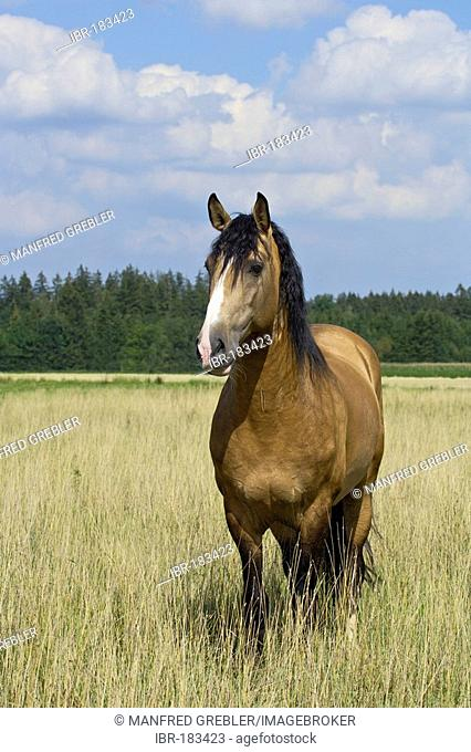 Lusitano horse stallion