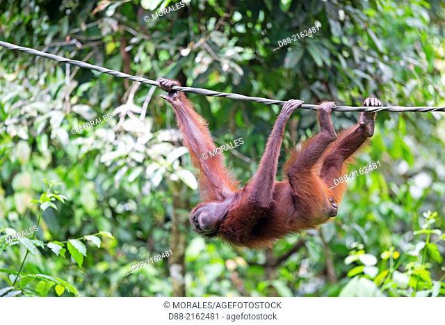 Asia,Malaysia,Borneo,Sabah,Sandakan,Sepilok Orang Utan Rehabilitation Center,Northeast Bornean orangutan (Pongo pygmaeus morio),adult female