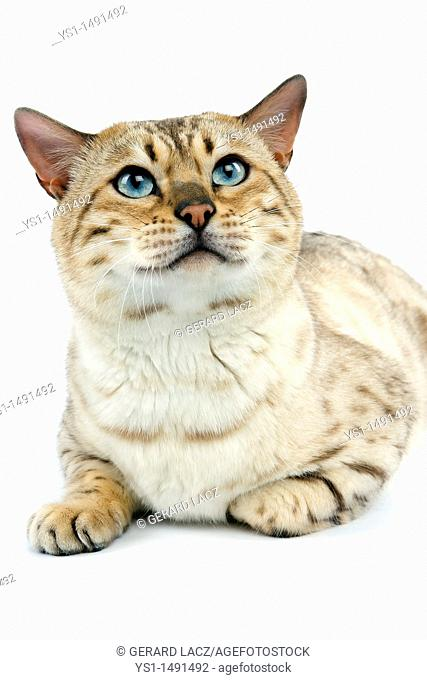Seal Mink Tabby Bengal Domestic Cat, Male laying against White Background