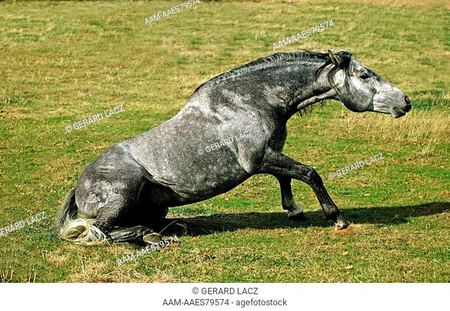 Lusitano Horse Getting Up From Ground