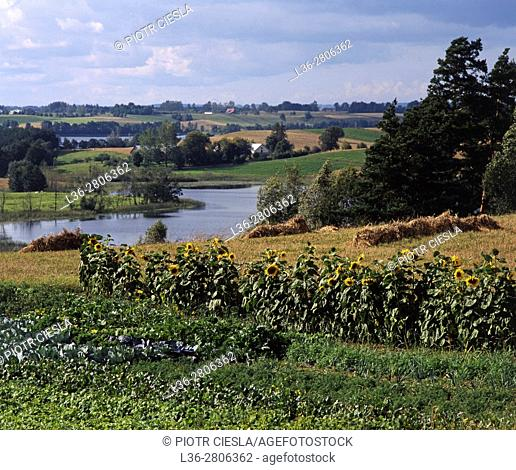 Poland. Suwalski region. Sunflowers