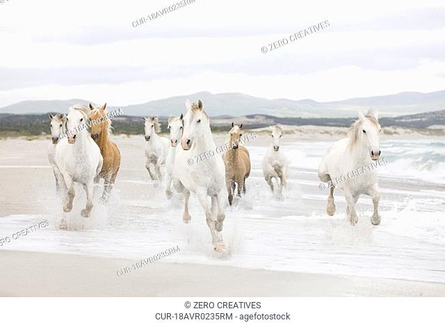 Horses, beach, sea, surf, running