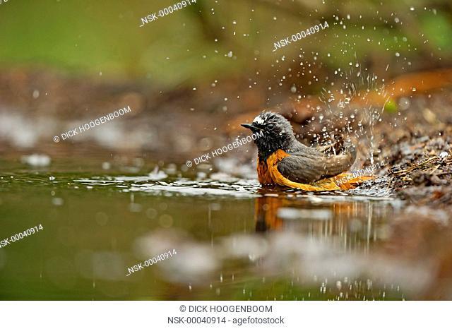 Common Redstart (Phoenicurus phoenicurus) taking a bath, The Netherlands, Overijssel, HBN photo hide