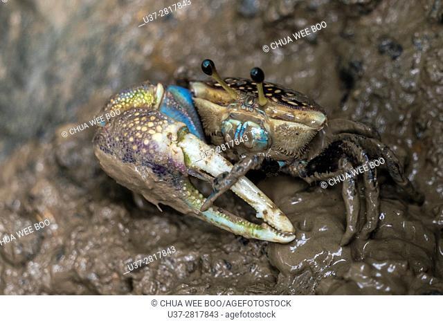 Blue Mud Crab, Sungai Apong, Kuching, Sarawak, Malaysia