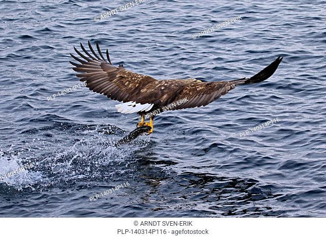 White-tailed Eagle / Sea Eagle / Erne (Haliaeetus albicilla) in flight above the sea catching fish