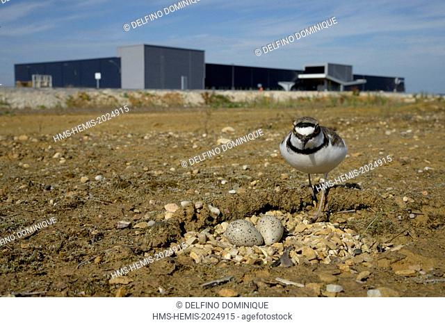 France, Doubs, Brognard, bird, Little Ringed Plover (Charadrius dubius), nesting on an industrial platform during excavation of the ZAC Technoland 2 on the set...
