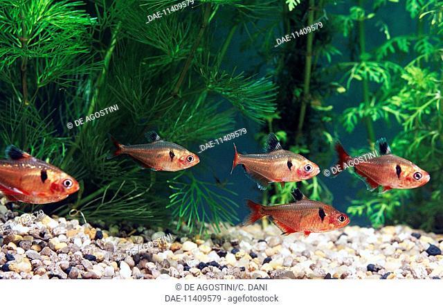 Serpae tetras (Hyphessobrycon serpae or Hyphessobrycon eques), Characidae, in aquarium
