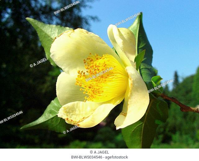 Japanese stewartia Stewartia pseudocamellia, flower