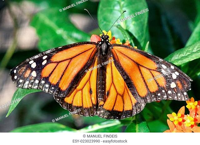 Monarch Butterfly (Danaus plexippus) (male)