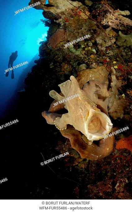 Giant Frogfish in Coral Reef, Antennarius commersonii, Alor, Indonesia