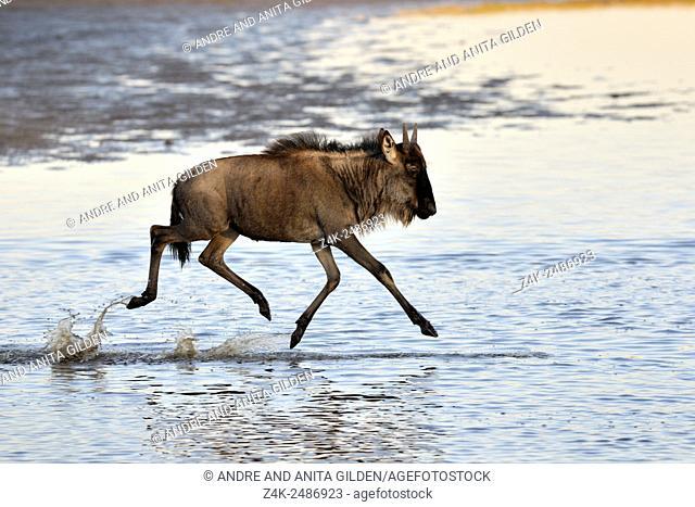 Young wildebeest (Connochaetes taurinus), gnu running through water, reflected in water, Ndutu, Serengeti national park, Tanzania