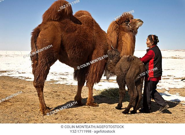 Bactrian camel with three day old baby, nomadic herder woman feeds hay, Khongur sand dunes, Gobi desert, Mongolia