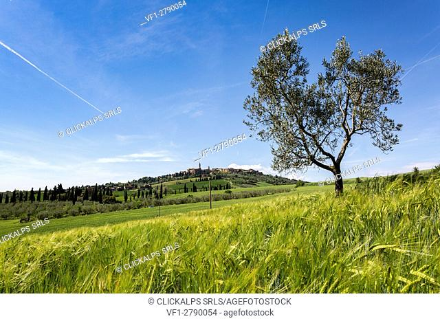 Oliove tree and Pienza on the background. Orcia Valley, Siena district, Tuscany, Italy