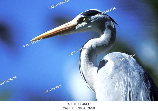 stelzvogel, aichner, animals, ardeidae, aves