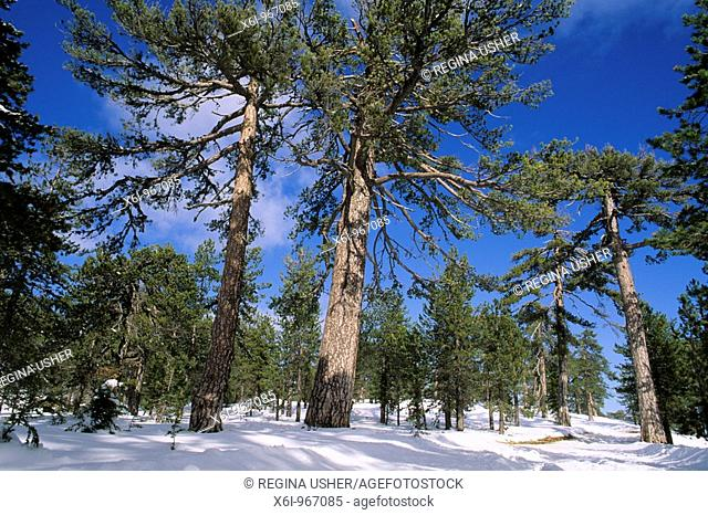 Troodos Black Pine Pinus nigra pallasiana, forest in winter, on upper slopes of the Troodos mountains, Cyprus south