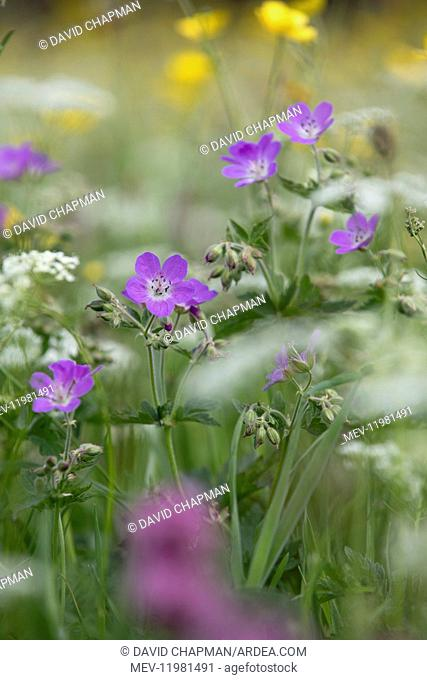 Wood Cranesbill - Muker - Yorkshire Dales - UK
