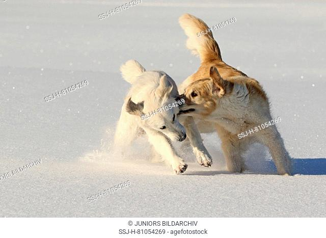 Golden Retriever. Pair of females (3 and 1,5 years old) playing in snow. Germany
