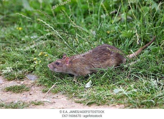 Brown Rat Rattus norvegicus feeding