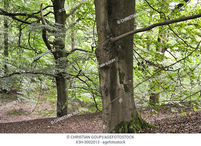 beech tree grove in the Forest of Rambouillet, Haute Vallee de Chevreuse Regional Natural Park, Department of Yvelines, Ile de France Region, France, Europe