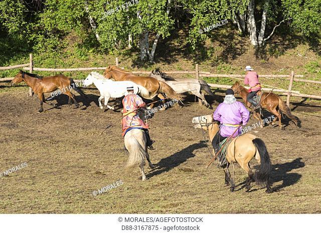 China, Inner Mongolia, Hebei Province, Zhangjiakou, Bashang Grassland, Mongolian working horses in a coral