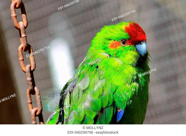 Endemic to new zealand Stock Photos and Images   age fotostock
