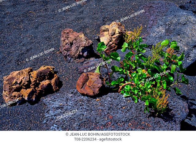 spain,canary islands,lanzarote : montana cuervo, crater and flowers