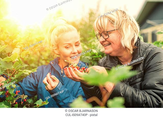 Two women picking redcurrants together