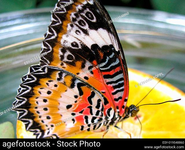 Schmetterling auf Zitrone