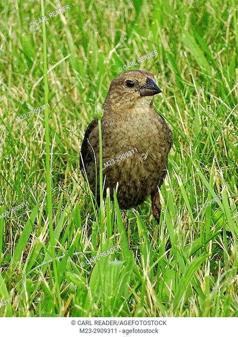 A juvenile brown-headed cowbird, molothrus ater, in the grass, Pennsylvania, USA