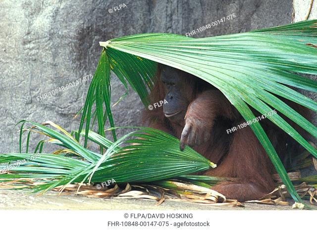 Orang Utang Pongo pygmaeus Sheltering under palm leaves S
