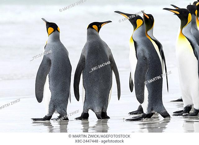 King Penguin (Aptenodytes patagonicus) on the Falkand Islands in the South Atlantic. Group of penguins marching on sandy beach towards their colony
