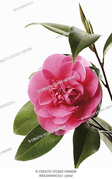 Camellia Camellia japonica, close-up