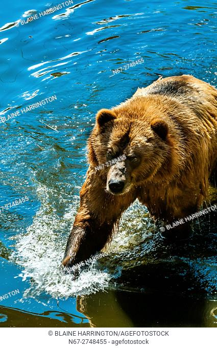 Coastal Brown Bears, Fortress of the Bear (wildlife sanctuary), Sitka, Alaska USA