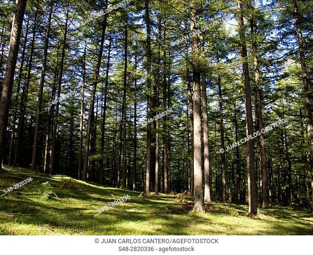 Bosque de alerces en el Parque Natural de Gorbea. Vizcaya. Pais Vasco. España. Europa