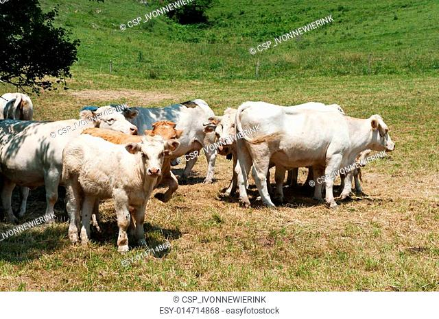 White Charolais cattle in landscape